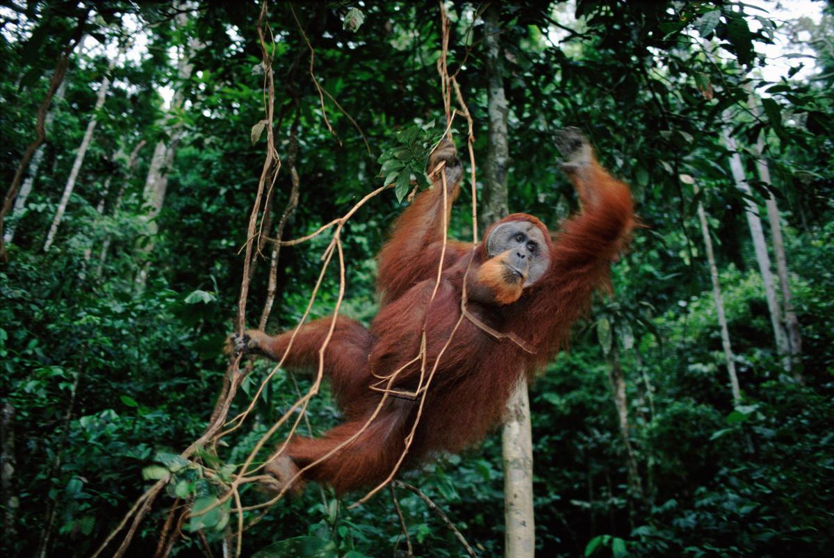 WWF et machine learning pour sauver les orangs-outans